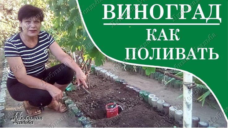 Как поливать виноград правильно. Дренажный полив своими руками.