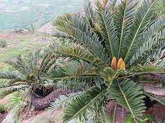 Encephalartos turneri (obety Jose Baptista) Tags: mozambique mocambique zamia encephalartos nampula rapale zamiaceae turneri vision:mountain=0503 vision:outdoor=0923 vision:plant=0928 encephalartostuneri