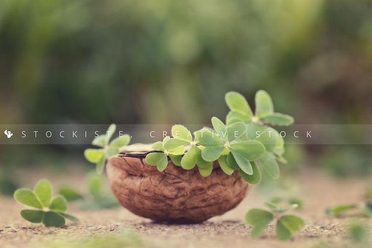 Minimalist garden… Clover in a nut shell!  From Alicia Llop.  Stockiste.com  Creative stock + Exclusivity on the GO!   Direct Link: https://www.stockiste.com/display/clover/2740  #Stockiste, #StockisteCreativeStock, #Stockphoto, #Stockimage, #Photographer, #AliciaLlop, #ContentMarketing, #Marketing, #Storytelling, #Creative, #Communication, #Art, #Clover, #Spring, #Summer,  Clover © Alicia Llop