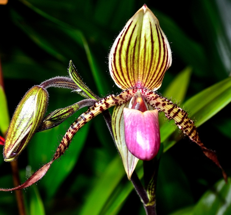 Orchidea by Welbis Pestana