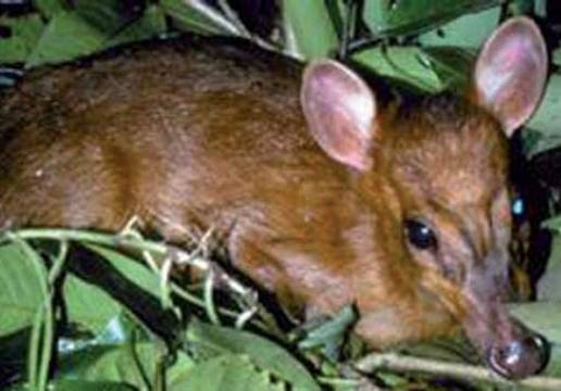 """World's Smallet Deer Species (discovered in 1999): Leaf deer (Muntiacus putaoensis). The world's smallest deer species, a miniature muntjac, discovered in 1999. Standing 60-80cm (23.6-31.5"""") tall and weighing just about 11kg (24.2 lbs), was first seen by a team of scientists undertaking field surveys in the Himalayan region of northern Myanmar."""