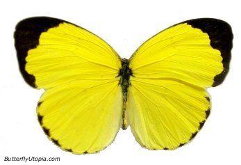 yellow butterflies Eurema hecabe brenda butterfly