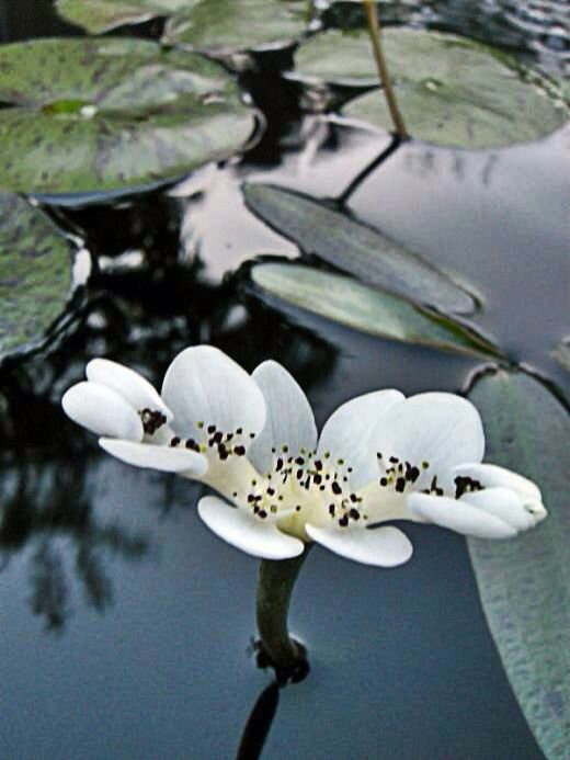 WATER HAWTHORNE is a lovely lily-like pond plant that is the first to bloom in winter. It will actually push flowers up thru the pond ice in spring. Goes dormant in summer and blooms again in fall. The flowers smell amazing! Good for small to medium size ponds.