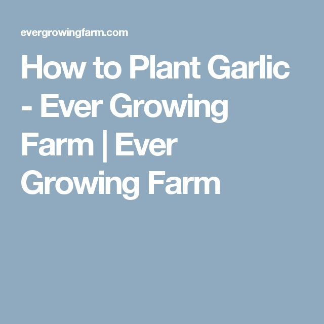 How to Plant Garlic - Ever Growing Farm | Ever Growing Farm