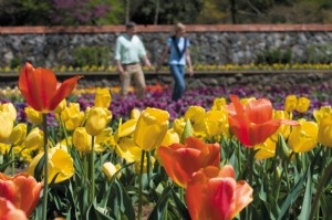 Biltmore Festival of Flowers  ~  Guests enjoy strolling through pattern beds in the Walled Garden where more than 50,000 tulips bloom.    (Copyright 2012 The Biltmore Company)                     From March 21, 2013 through May
