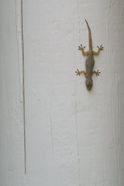 House Gecko - they fill the night with their lovely talk. Much nicer than invasive Day Geckos.
