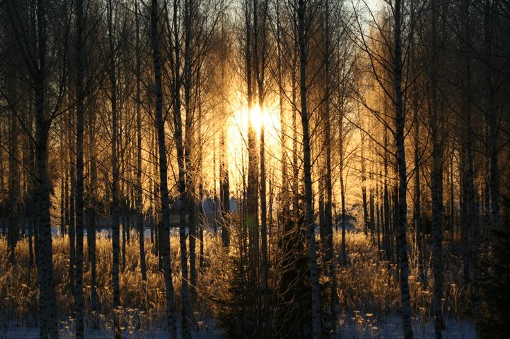 Sunrise through the birch trees in the winter.