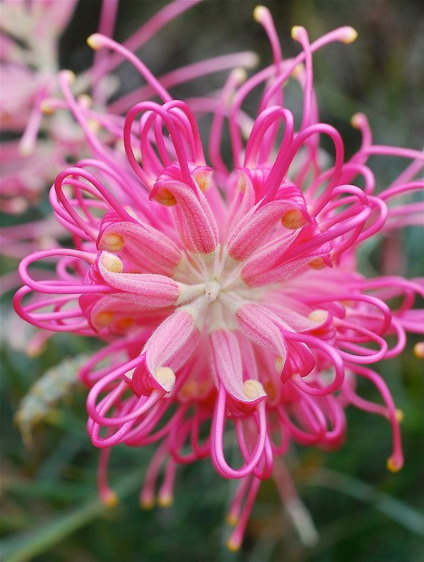 ~~Heart of Pink ~ Grevillea by Penny Smith~~