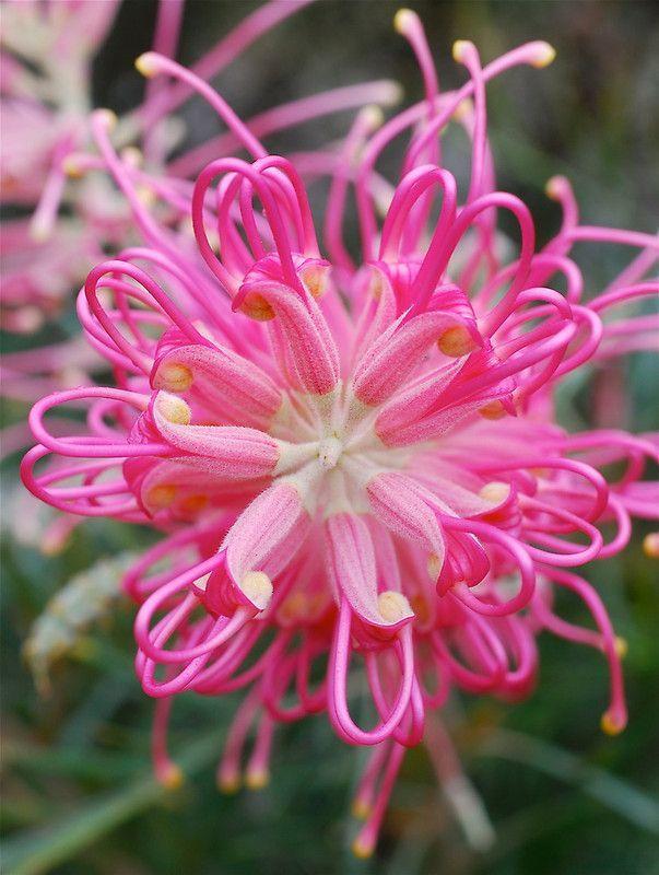 'Heart of Pink' Grevillea