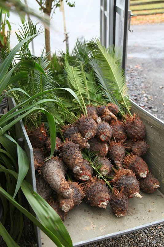 Cultivo de vástagos de la Palma de Sagú o Cica