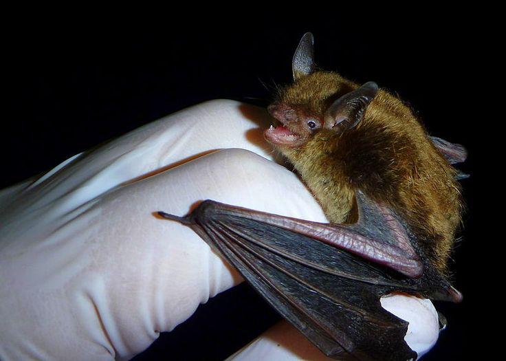 Filelittle brown myotisjpg getting rid of bats bats