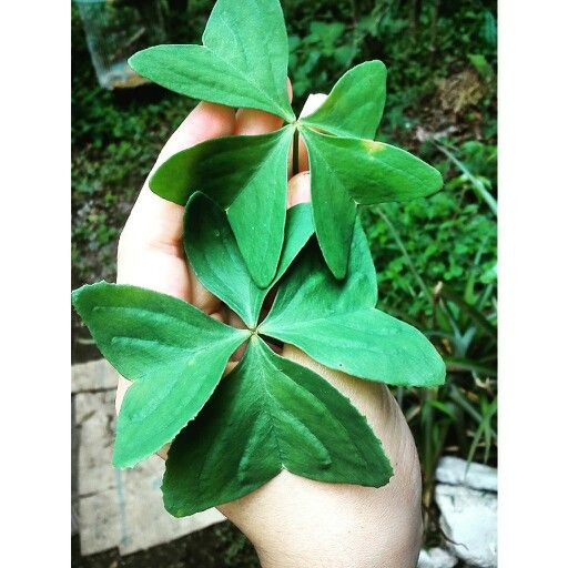 Trébol de 4 hojas, bendición de verde