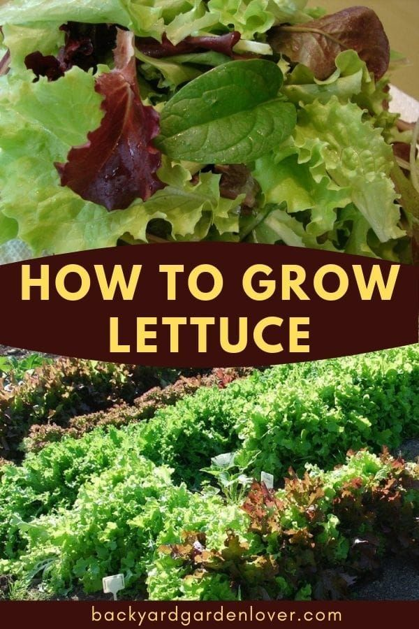 How To Grow Lettuce You Can Enjoy Year Round Growing Lettuce