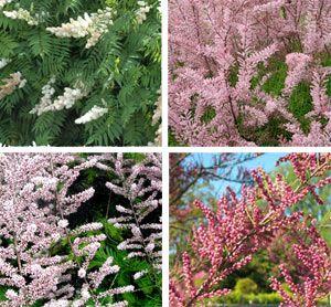 Красиво цветущие кустарники на даче — тамарикс (посадка и уход)
