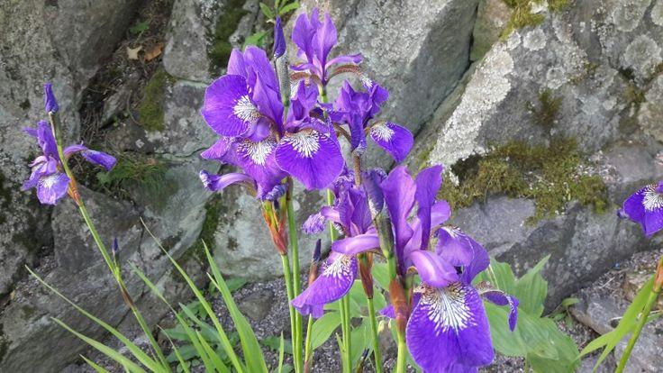 Iris's in nature!