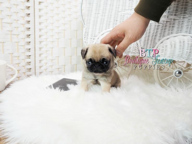 The 25+ best Teacup pugs for sale ideas on Pinterest ...