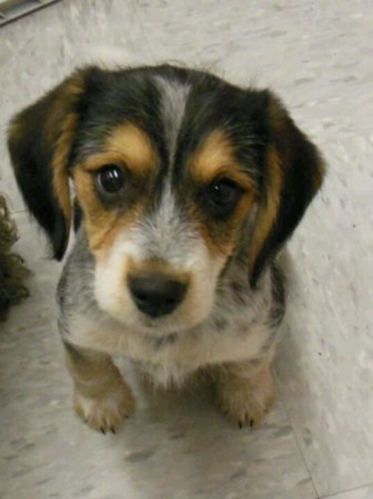Wire Haired Beagle Mix