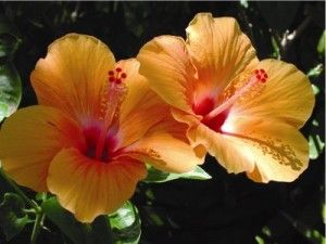 Hibiscus plants bloom from mid-summer until the first frost. Some Hibiscus plants produce flowers year-round. Although the flowering of the Hibiscus flower only lasts a day, the Hibiscus plant can produce up to a hundred blooms in a season.
