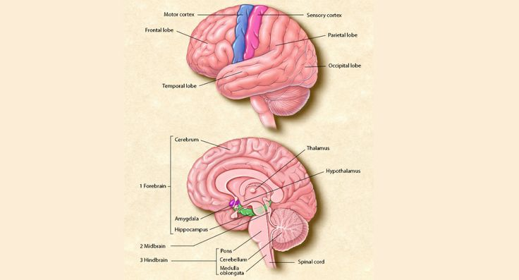 The top image shows the four main sections of the cerebral cortex: the frontal lobe, the parietal lobe, the occipital lobe, and the temporal lobe. Functions such as movement are controlled by the motor cortex, and the sensory cortex receives information on vision, hearing, speech, and other senses. The bottom image shows the location of the brains major internal structures. Illustration by Lydia V. Kibiuk, Baltimore, MD