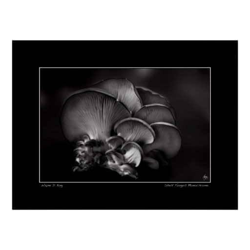 Monochrome of a shelf fungus known as the Oyster Mushroom. Photographed as a still life image.Only one original of this image is created, signed, dated and with a certificate of authenticity. The image is used for creation of an open edition but otherwise archived and kept only for historic purposes and publications. To purchase an original contact the artist at waynedking9278@gmail.com.  Open edition fine art prints can be purchased ...