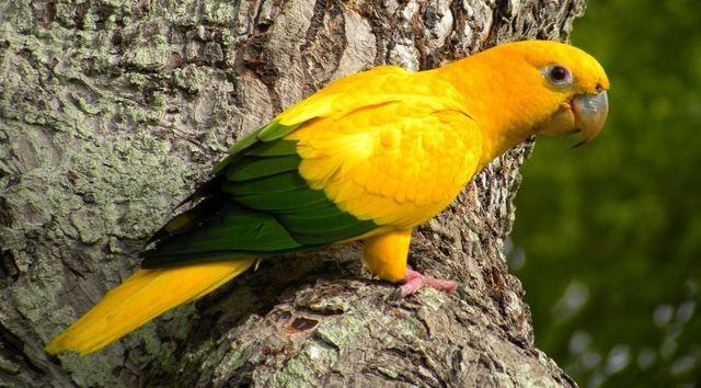 Ararajuba (Guaruba guarouba): espécie ameaçada de extinção. Endangered specie. Foto: Fabio Nunes | Wiki Aves - A Enciclopédia das Aves do Brasil