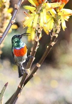 Oustalet's Sunbird(Nectarinia oustaleti)
