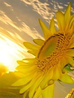 Imagenes Gifs: Girasol... mariposas