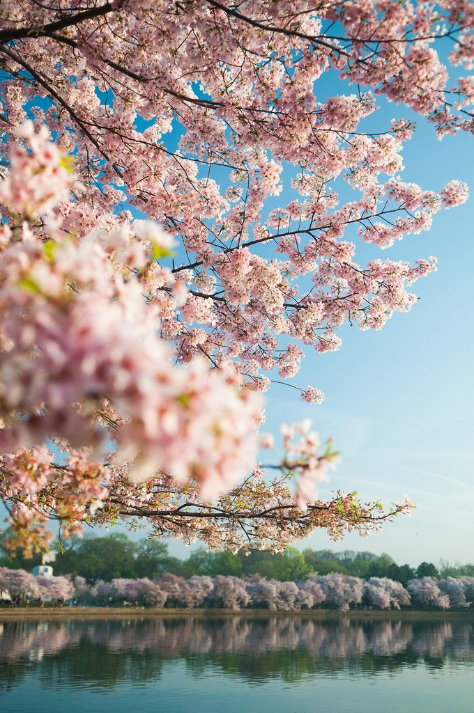166 Best Images About Cherry Blossoms On Pinterest