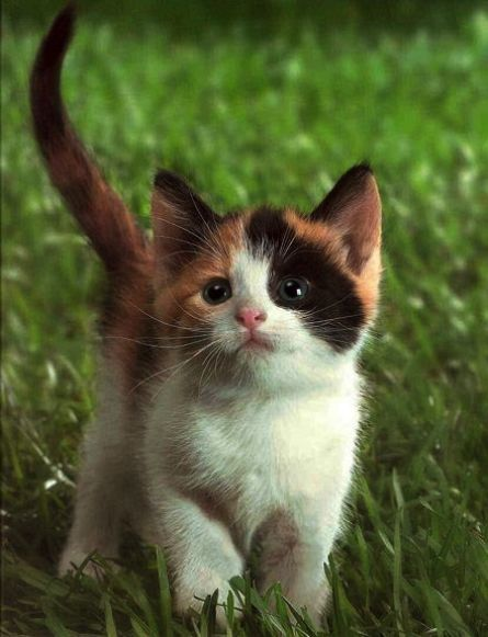 20+ Cute Calico Kittens That Will Bring Your Dead …
