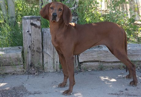 The breed is even-tempered and trainable in the home, and wants to please its owner. It is amenable to formal training. The Redbone's short, smooth coat requires only occasional brushing and bathing.