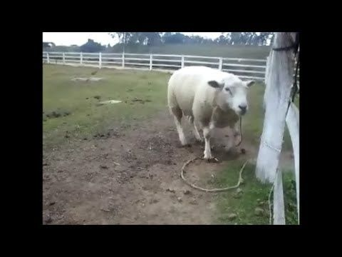 Musical Sheep That Dances To Drum Beat  - Carneiro Músico Que Dança Á Batucada