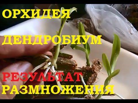 Размножение орхидеи дендробиум черенками. Результатом довольна! — 6 соток