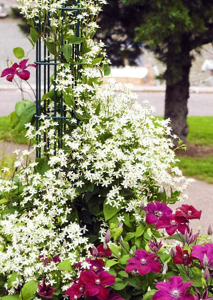 Kukkaköynnösten avulla pihaan saa runsautta ja kolmiulotteisuutta. Lue Viherpihan esittelyt ja löydä suosikkisi.
