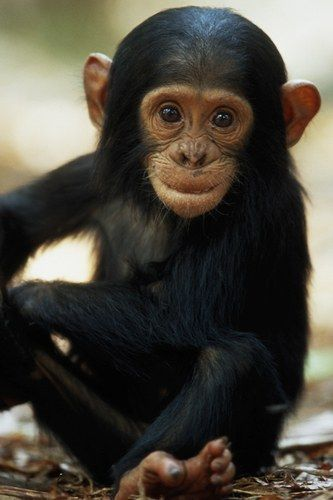 224 best images about Jane Goodall on Pinterest | Jane ...