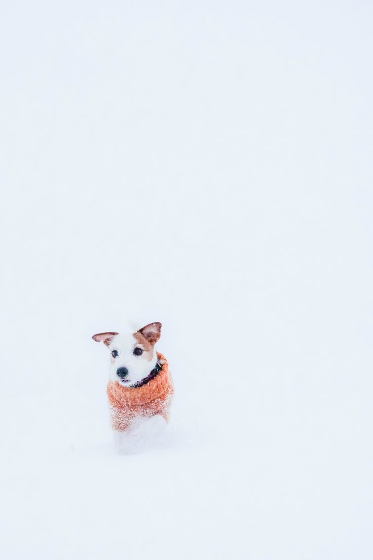 Snowy Jack russel puppy. Cold snowy dog photography. Wool Sweater for Dogs.