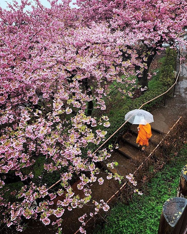Cherry Blossom Season In Japan Varies Depending On The Region With April Generally Being The Month When Most Trees Are Cherry Blossom Season Asia Travel Japan