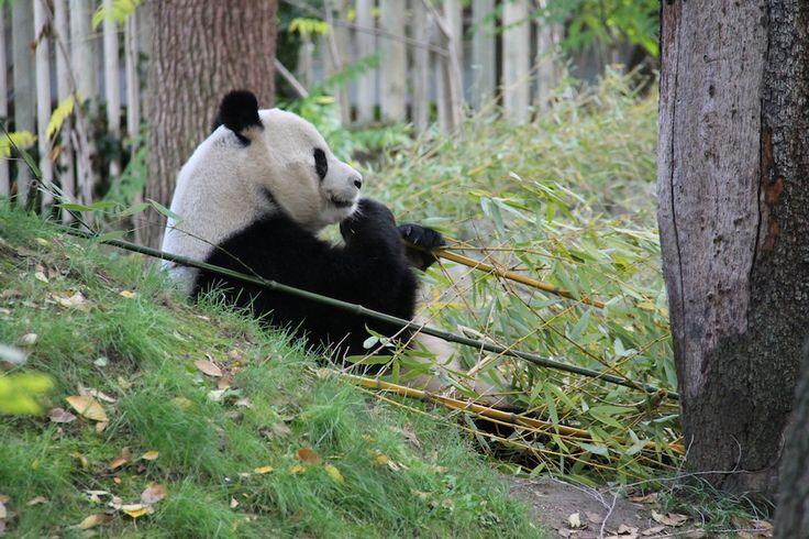 Panda Wielka w Europie.