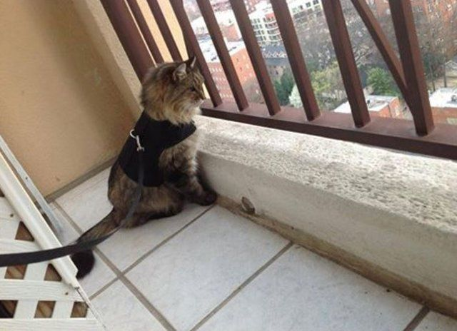 Is It Ok To Let Your Cat Go On The Balcony The Dodo Cat Leash Cats Cat Safe