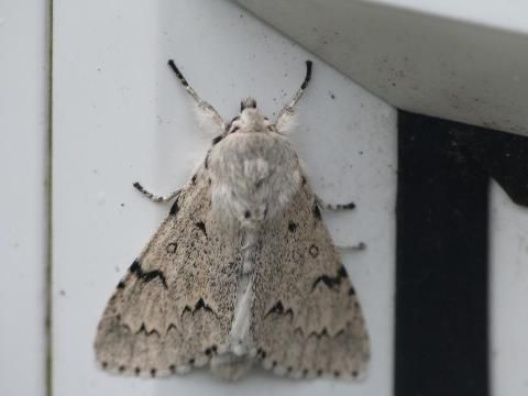 Acronicta leporina: the miller | The Nature of Dorset