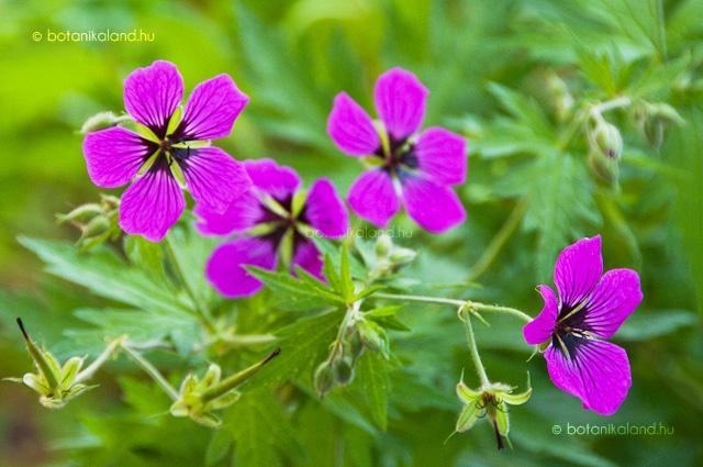 Örmény Gólyaorr (Geranium Psilostemon) gondozása, szaporítása