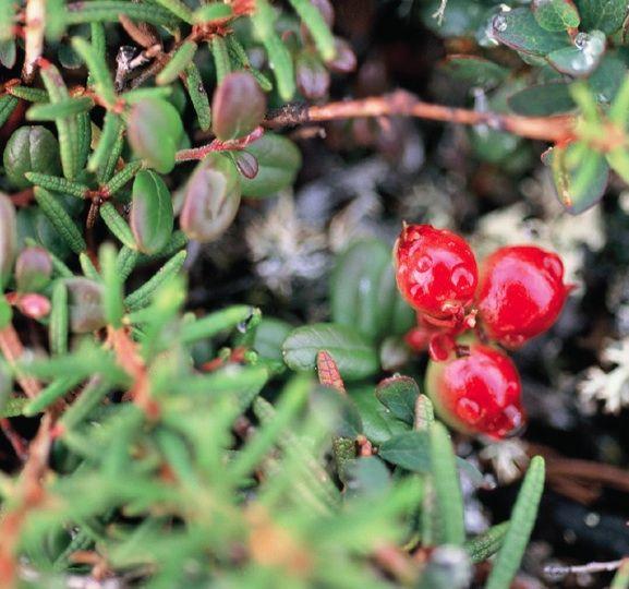 KALLAQUTIK (Arctous alpina [alpine bearberry])