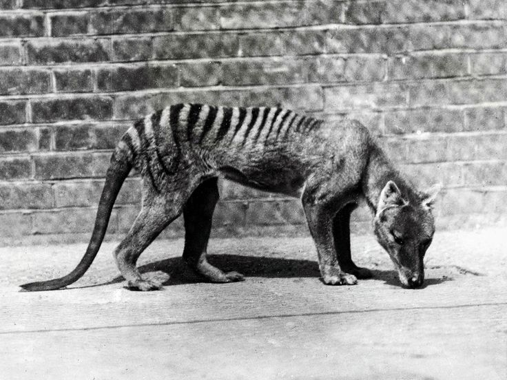 On 7 September 1936, the death of the last officially recorded thylacine occurred at Hobart Zoo in Tasmania. A carnivorous marsupial, the thylacine was also known as the Tasmanian tiger or Tasmanian wolf. It is believed to have become extinct as a result of disease, the introduction of dogs in Tasmania and from being hunted by humans. Sightings of Tasmania tigers continue to this day but none have proved conclusive