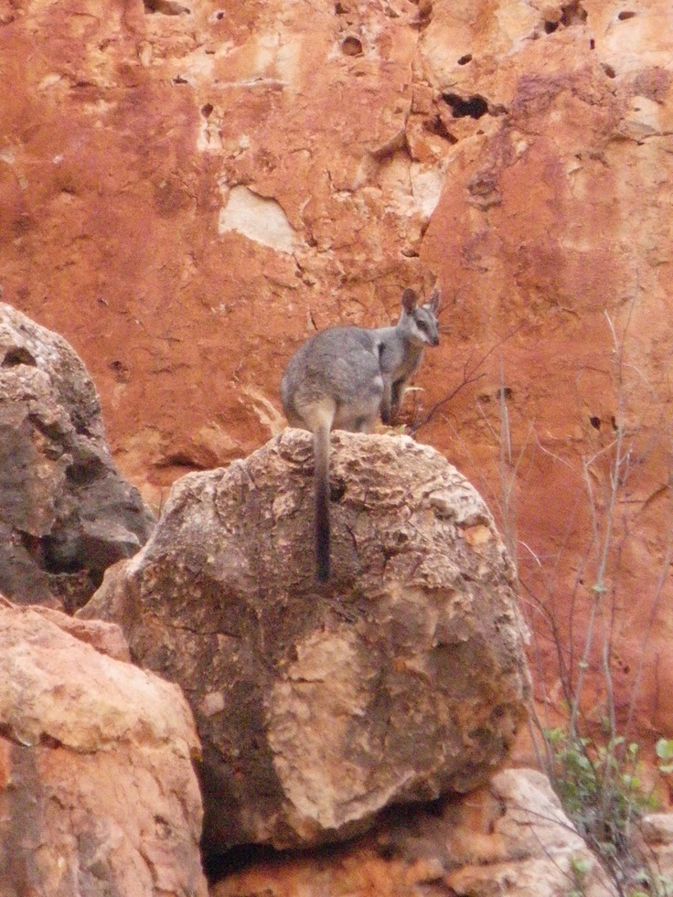 One of the native inhabitants of the North West Cape: a euro - part wallaby, part kangaroo. Exmouth and the surrounding Cape was home to red and grey kangaroos, emus, euros, kestrels, cockatoos and goanna lizards...