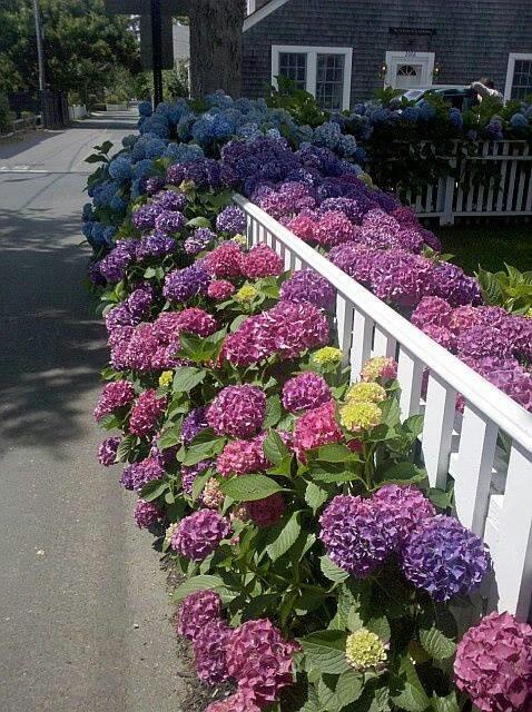 Jardim com lindas hortênsias coloridas