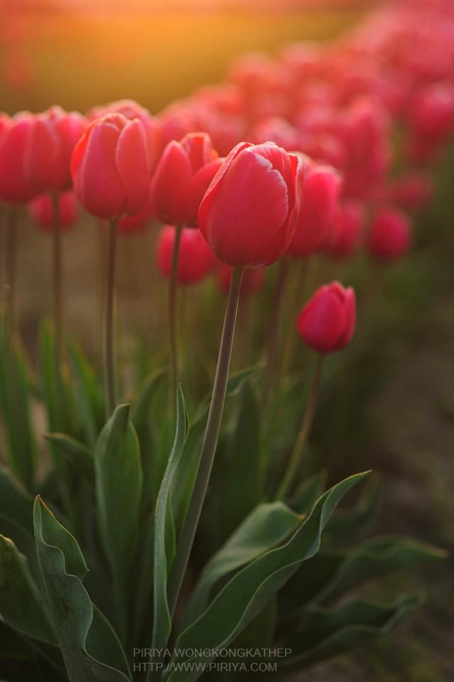 ~~morning with tulips by Piriya Photography~~
