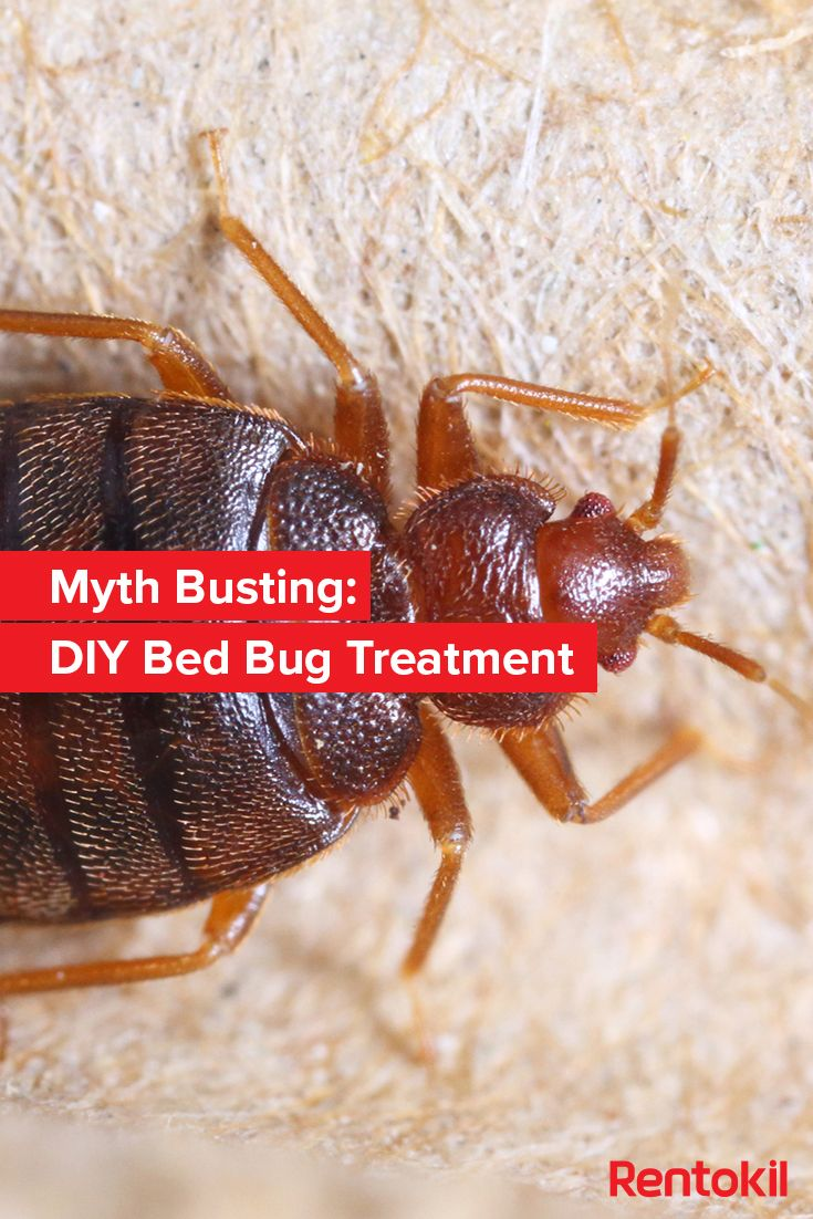 A look into the common DIY bed bug treatments to see which ones work and which are myths ...