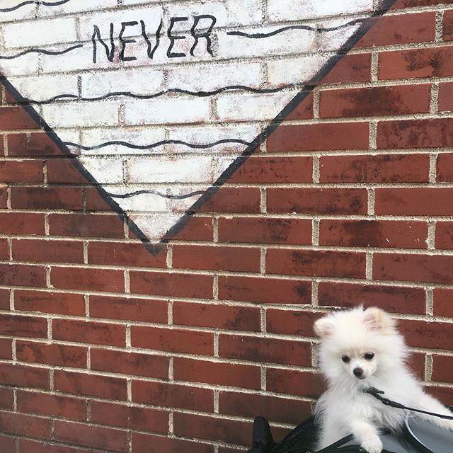 ❤️2017.05.9❤️ . オシャレな壁と記念撮影〜ヽ(* `・ω・´*)ノ . . #チワポメ#instagood #犬 #パピー #ポメチワ #チワワ#ポメラニアン#dog#japan#followme#愛犬#pet#ペット#pomeranian #dogstagram #doglover #cihuahua #chihuahuasofinstagram #pomeranianofinstagram#横浜#marineandwalk #マリンアンドウォーク