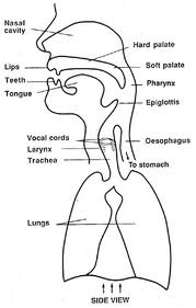 Vocal anatomy diagram