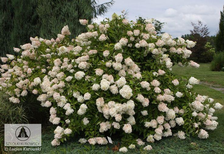 Hydrangea paniculata 'Grandiflora' - Hortensja bukietowa 'Grandiflora' - Szkółki Kurowscy