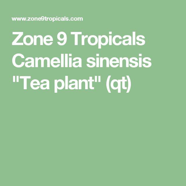 "Zone 9 Tropicals Camellia sinensis ""Tea plant"" (qt)"